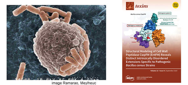Bc macrophage